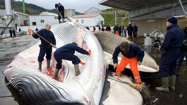 Giants of the deep: Icelandic whalers cut open a 35-tonne fin whale, caught off the coast of Hvalfjsrour, north of Reykjavik.