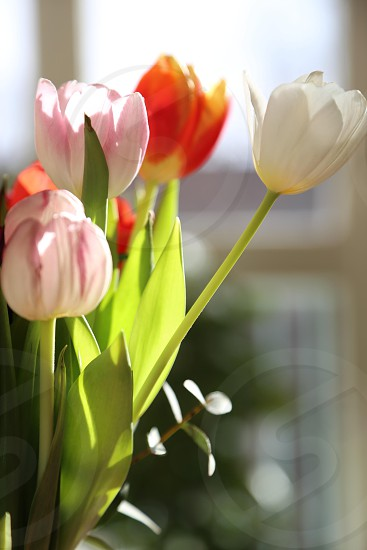 Tulips Tulip Flower Flowers Vase White Orange Red Green Colorful Background Wellpaper Indoors Decoration Fresh Flowering Backlight By Susanne Alfredsson Photo Stock Snapwire