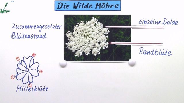 Doldengewchse  Die Wilde Mhre  Biologie online lernen