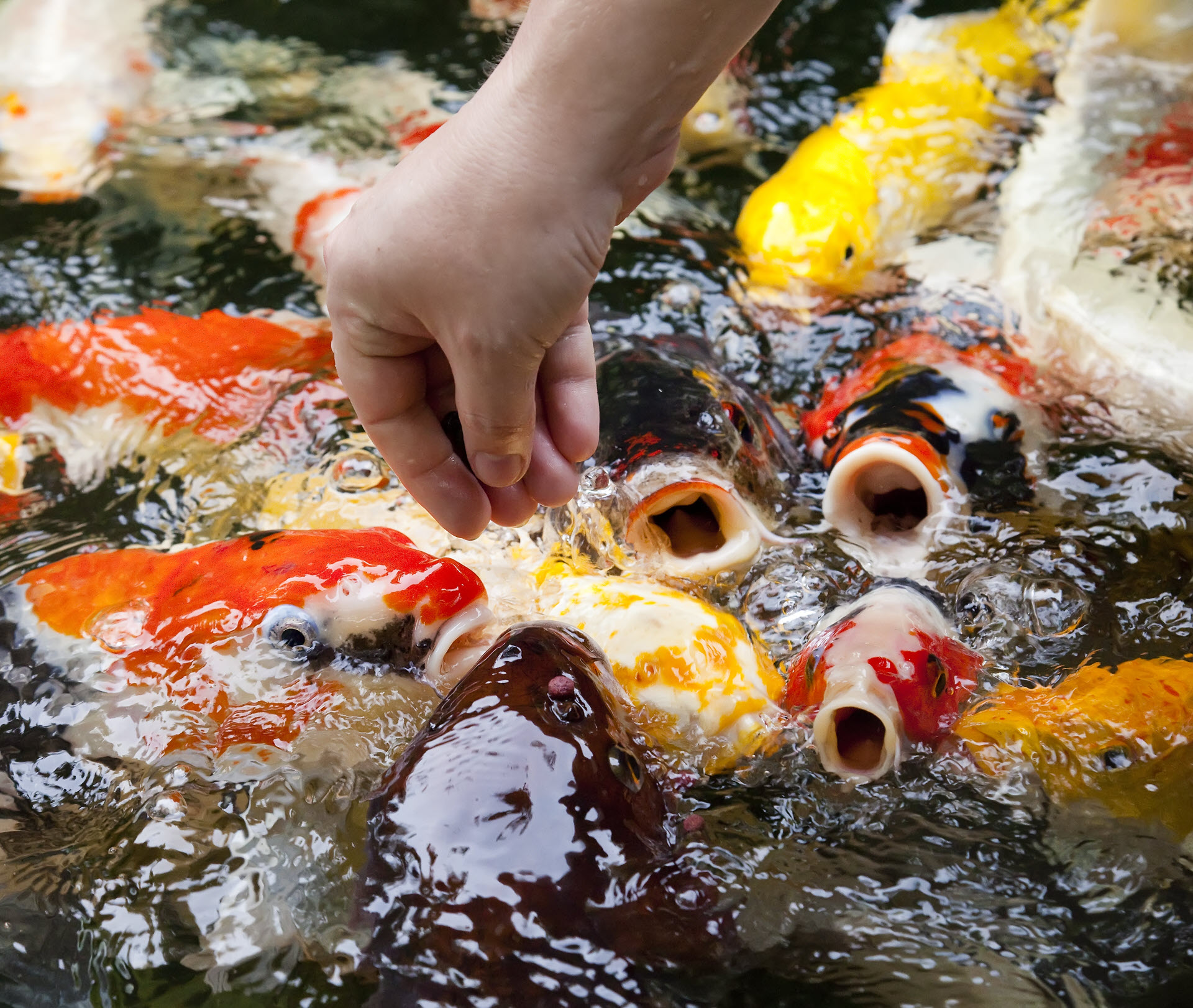 koi fish feeding tips