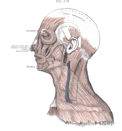 muscles of the head face and neck  [ 1000 x 1213 Pixel ]