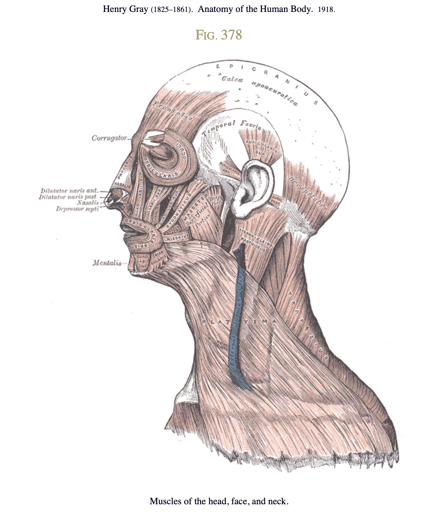 hight resolution of muscles of the head face and neck