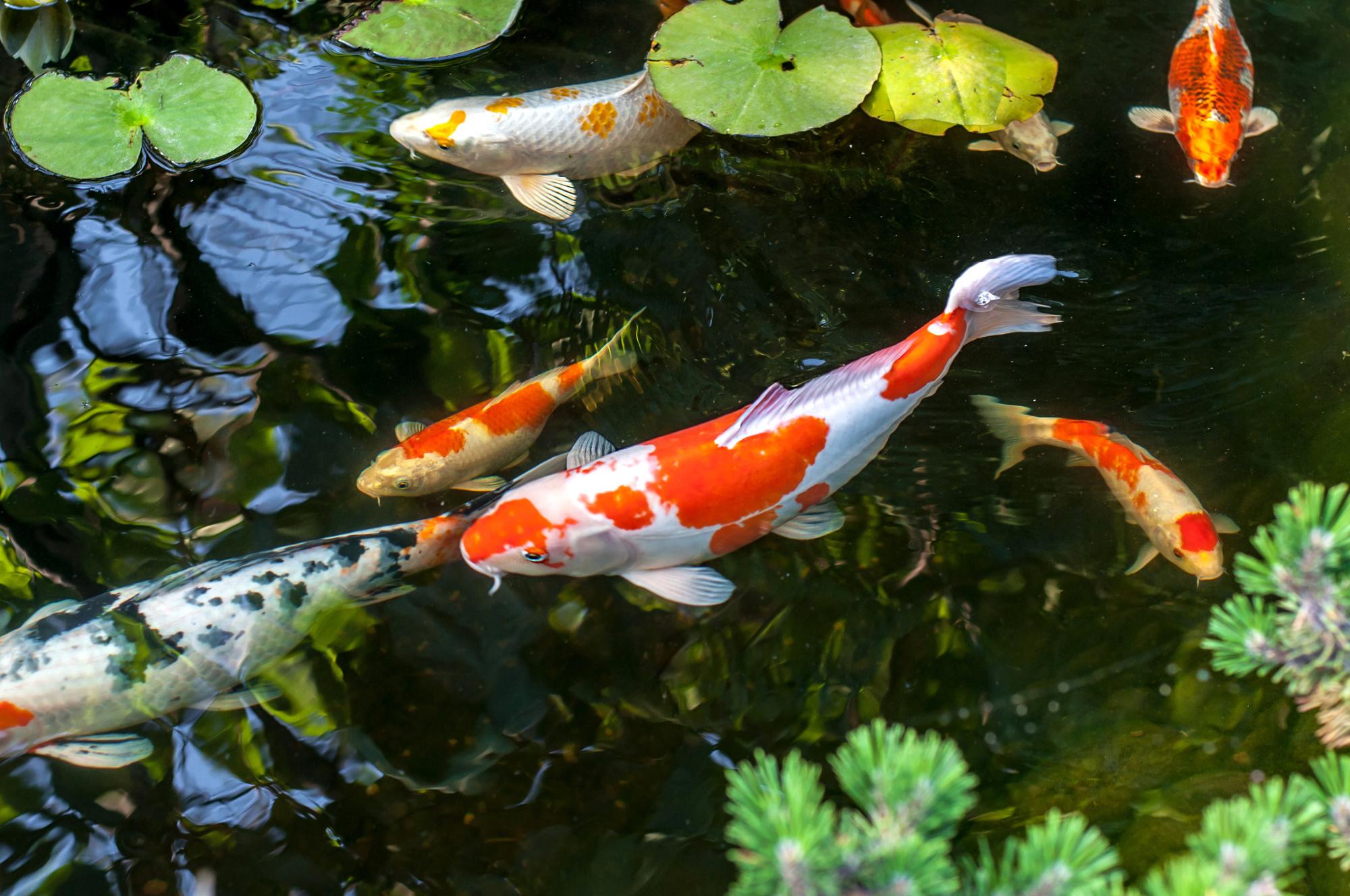 koi fish nishikigoi fish