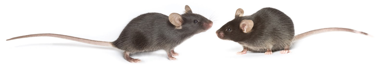The Black 6 mouse is a mainstay in life extension studies (find out more about the little guys  here )Credit: The Jackson Laboratory