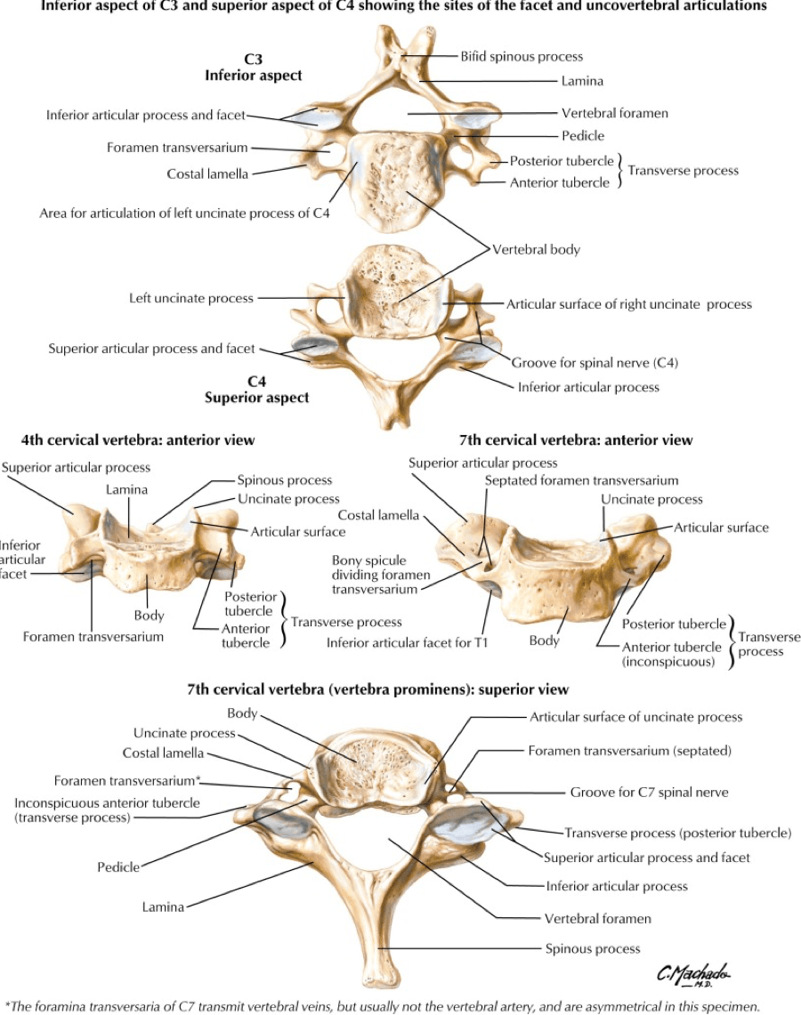 hight resolution of all the cervical spine anatomy diagrams are credited to agur amr dalley af of grant s atlas of anatomy twelfth edition