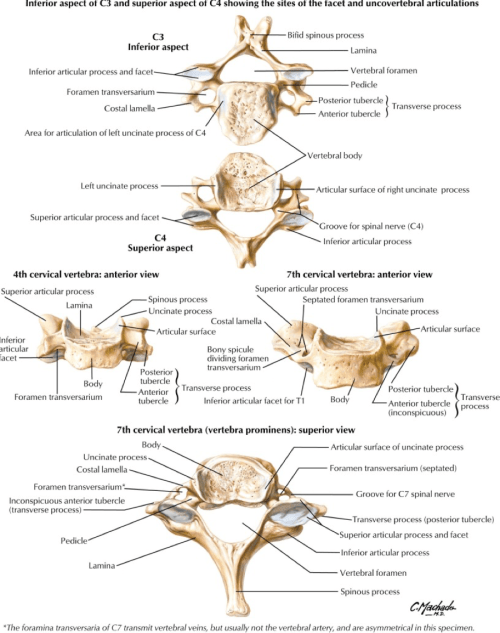 small resolution of all the cervical spine anatomy diagrams are credited to agur amr dalley af of grant s atlas of anatomy twelfth edition