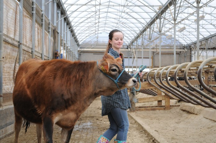 A student walks with a dairy cow in the Cattle Resources Unit on UConn's campus in Storrs, Connecticut. (Matthew Zabierek/The Daily Campus)