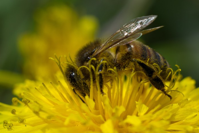 From January through March 2017, 84.4 thousand honey bee colonies died due to CCD. This is a 27 percent decrease from the same time period in 2016, according to United States Department of Agriculture. (Robert Kash/Creative Commons)