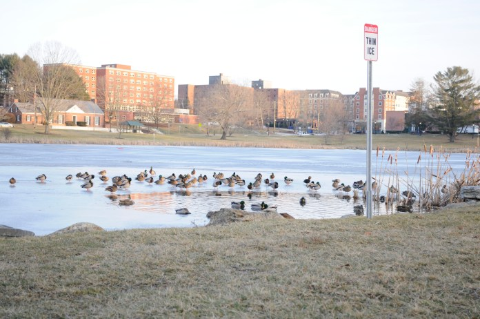 Ducks congregate on Mirror Lake, despite warnings of thin ice. Unusually warm temperatures gave the birds an opportunity to bask on Sunday, Jan. 21. (Marlese Lessing/The Daily Campus)