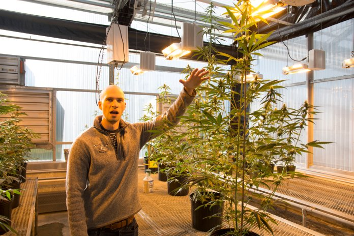 Peter Apicella, a grad student at UConn, is working with different strands of industrial hemp plants (low amounts of THC) known as Cannabis Sativa to research how different pathogens affect the plants. The goal, he says, is to publish peer review articles for medicinal growers to farm more efficiently. (Nicholas Hampton/The Daily Campus)