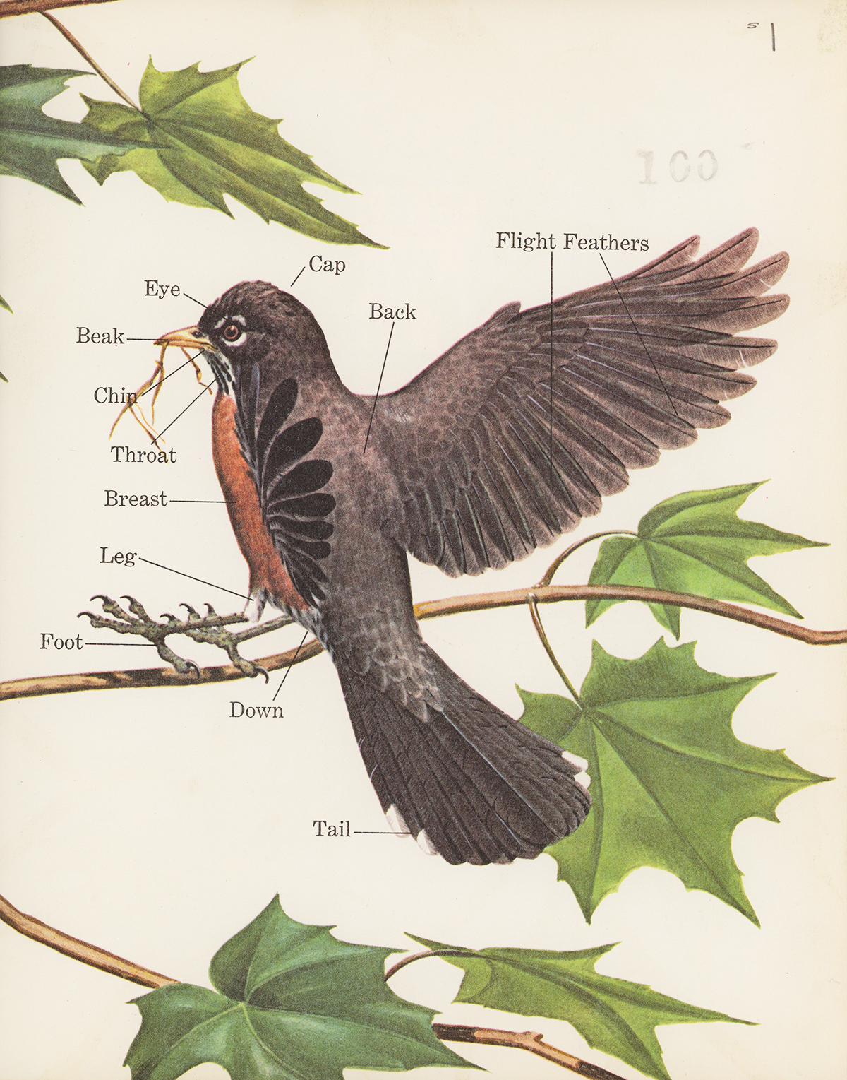 hight resolution of here is another book with fully illustrated endpages and these feature a very simplified anatomical diagram of a robin bringing a twig to a nest