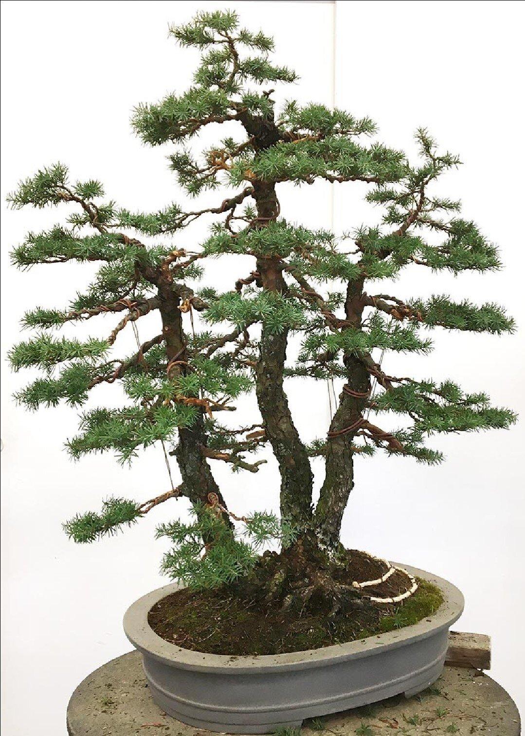 Douglas Fir Bonsai : douglas, bonsai, Bonsai, Society, Portland, Scott's, Branch