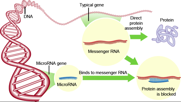 The Incredible MicroRNA's
