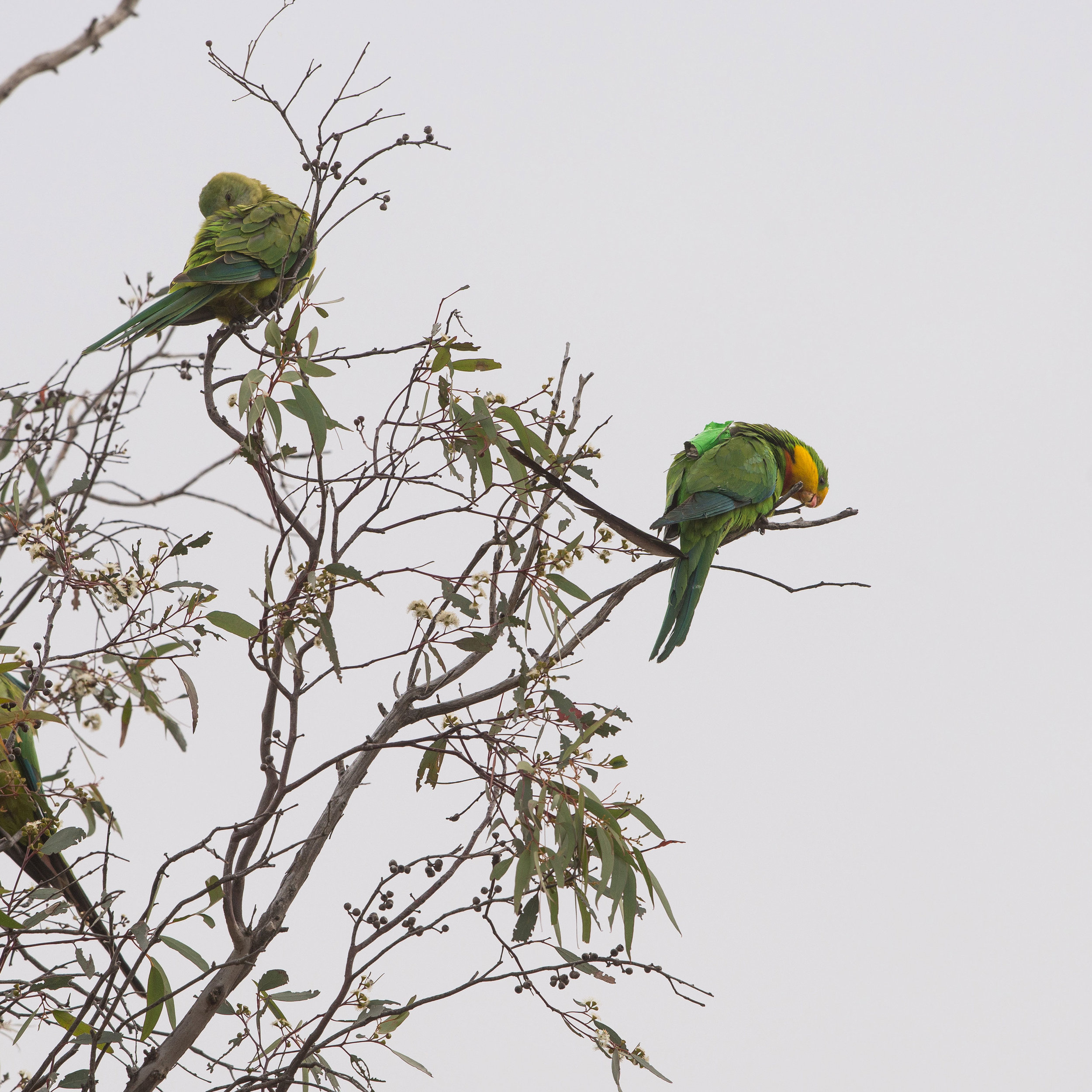 Superb Parrot — DIFFICULT BIRD RESEARCH GROUP