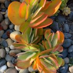 Plant Of The Month Archive Kalanchoe Luciae Paddle Plant Infinite Succulent