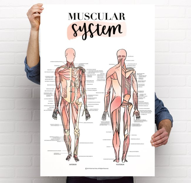 muscular system or skeletal system poster premium glossy card stock park ave prints