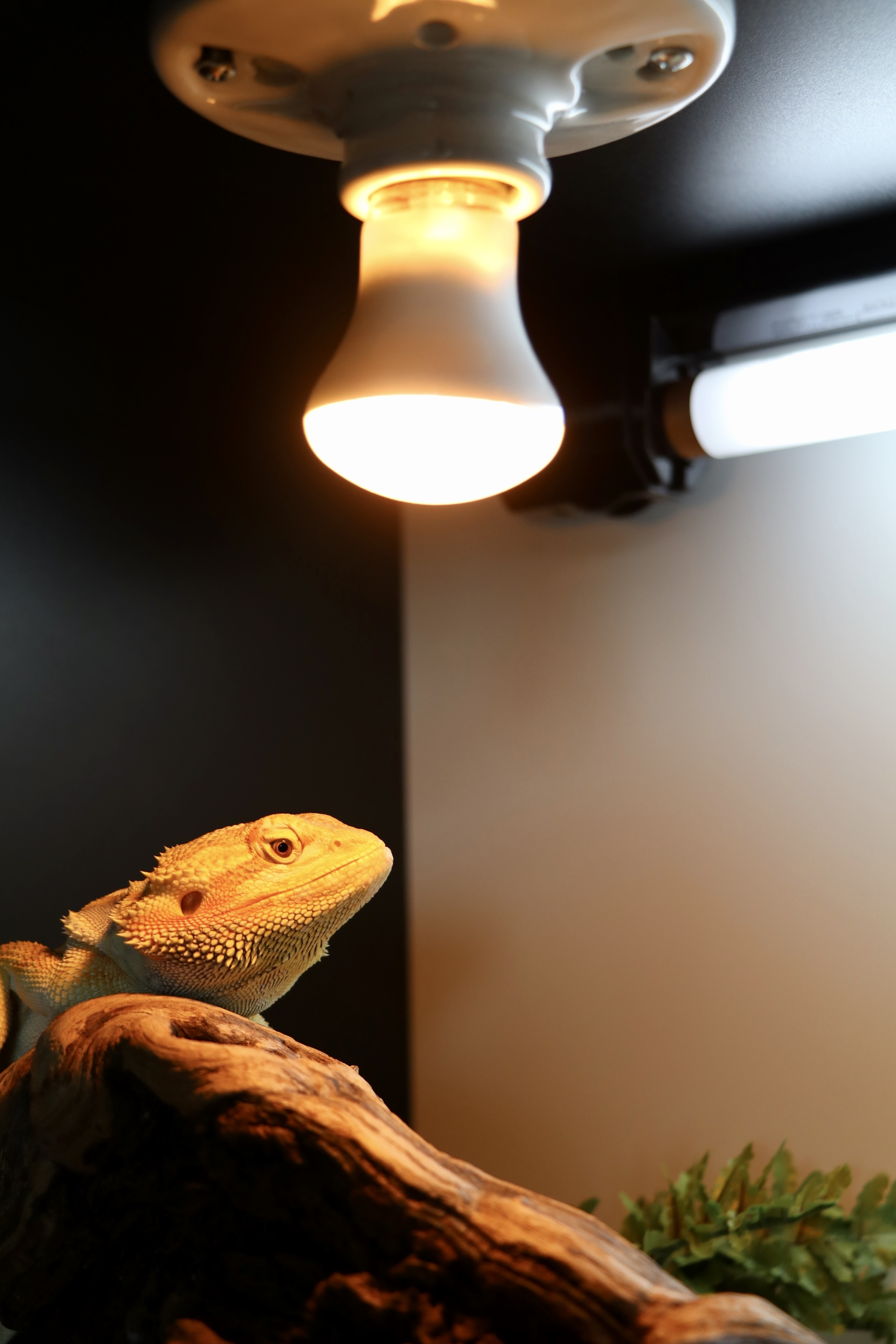 bearded dragon heat lighting 7th