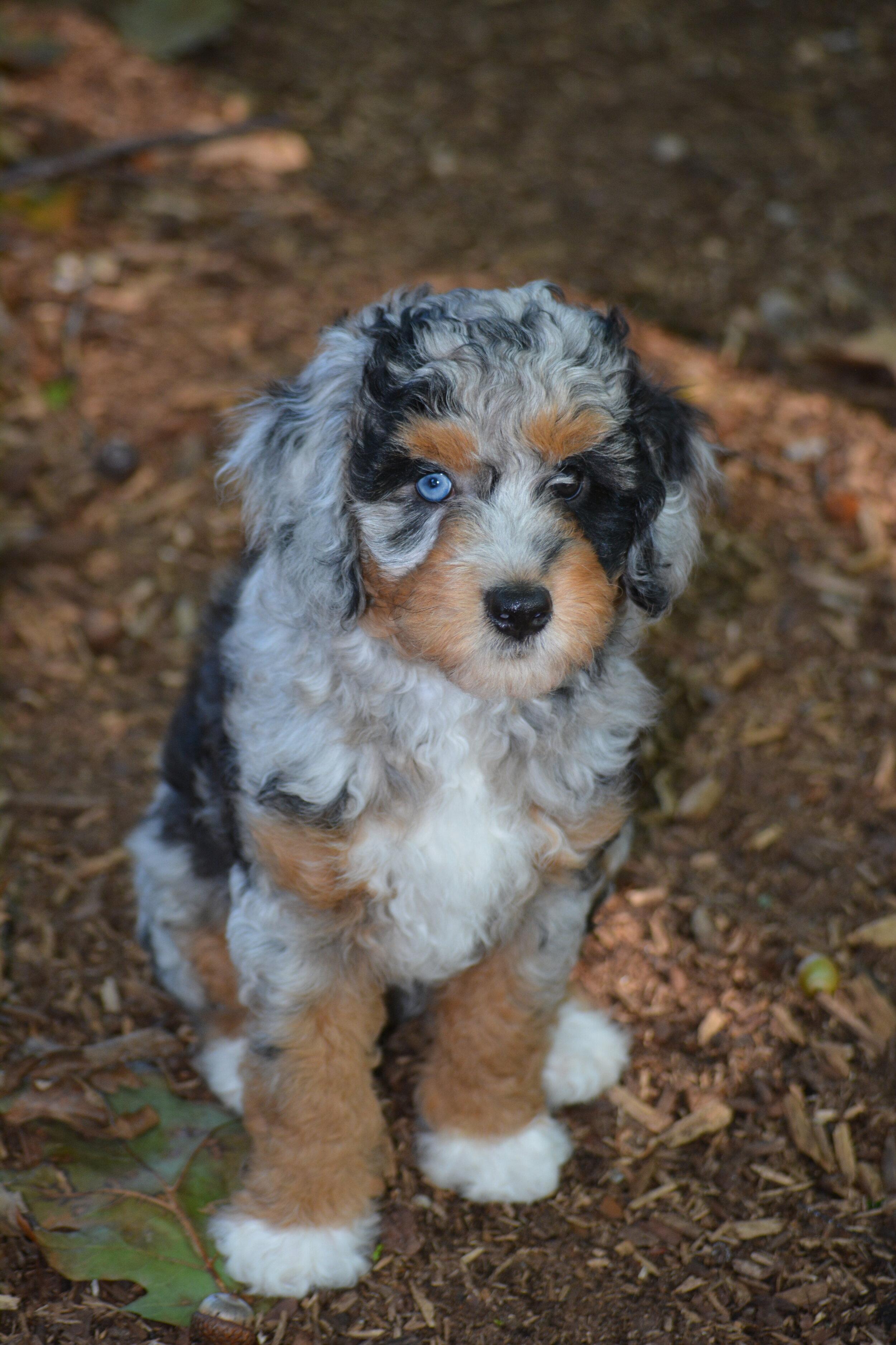 Mini Aussiedoodle Puppies - YouTube