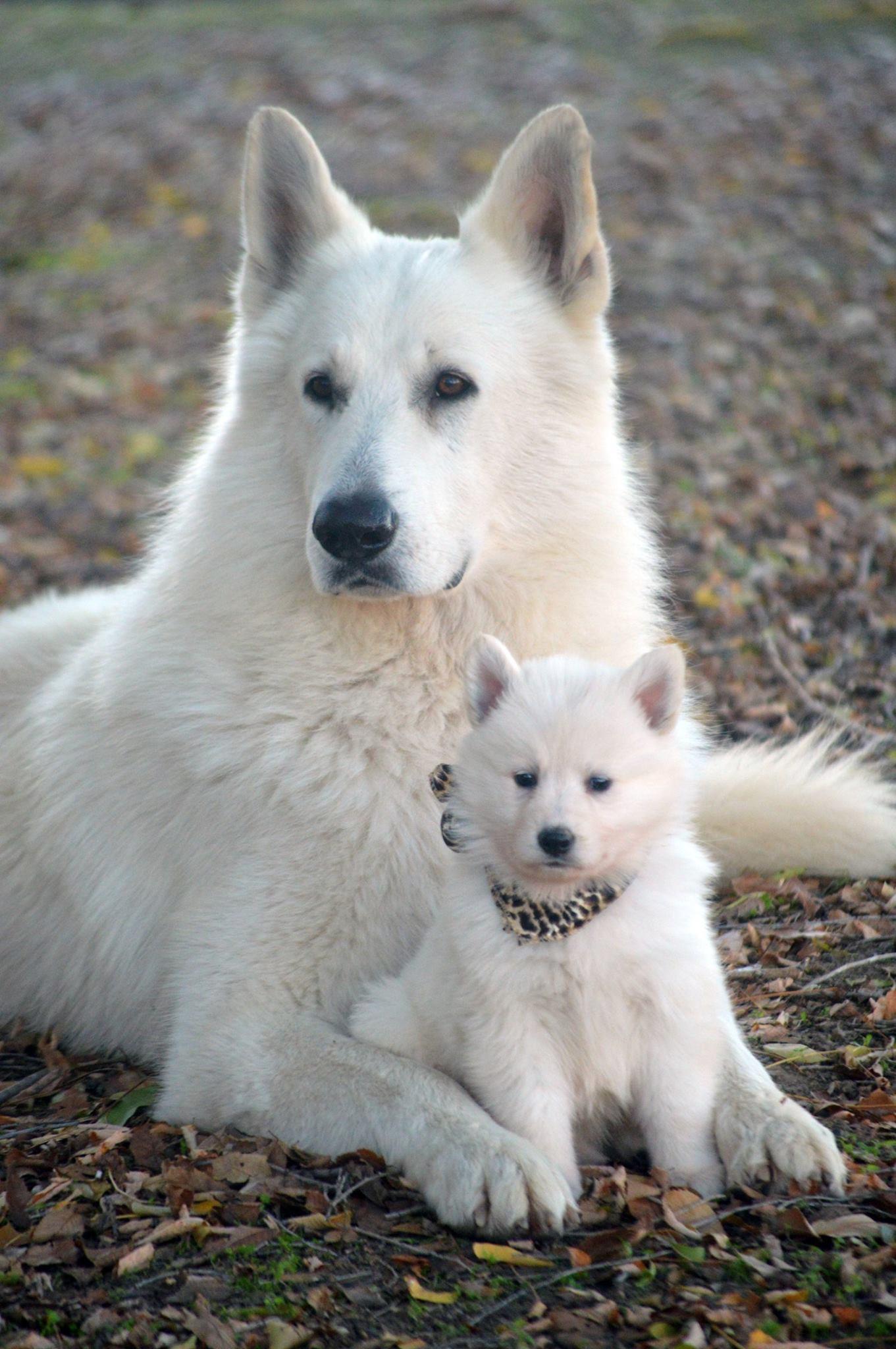 White Shepherd For Sale : white, shepherd, Swiss, Shepherds, Breeder