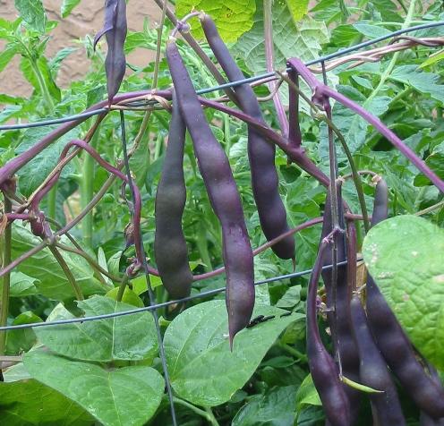 Beans, Bush - Royal Burgundy — Seeds Trust