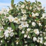 Fairy Magnolia Aldgate Tree Farm
