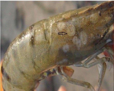 Figure 1. White Spot Syndrome in Shrimp. (Hossain et al, 2014. Prevalence and distribution of White Spot Syndrome Virus in cultured shrimp.)