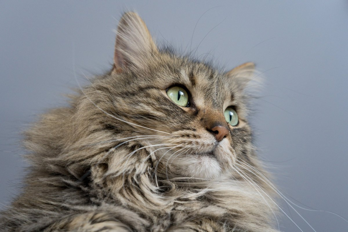 what are maine coon cats known for