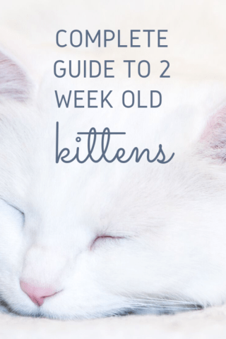 Everything You Need To Know About 2 Week Old Kittens Live Long And Pawspurr