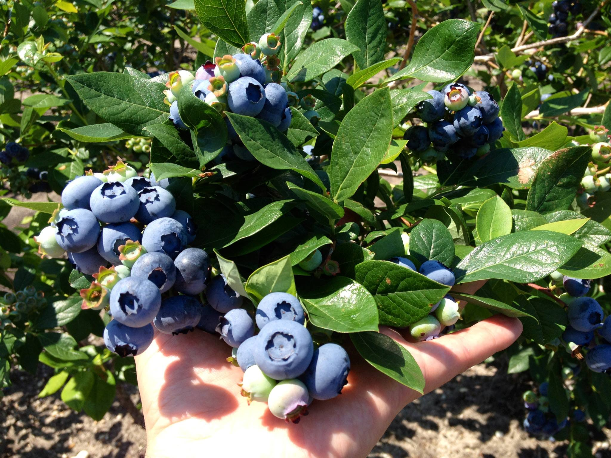 blueberry plants blueberry plants