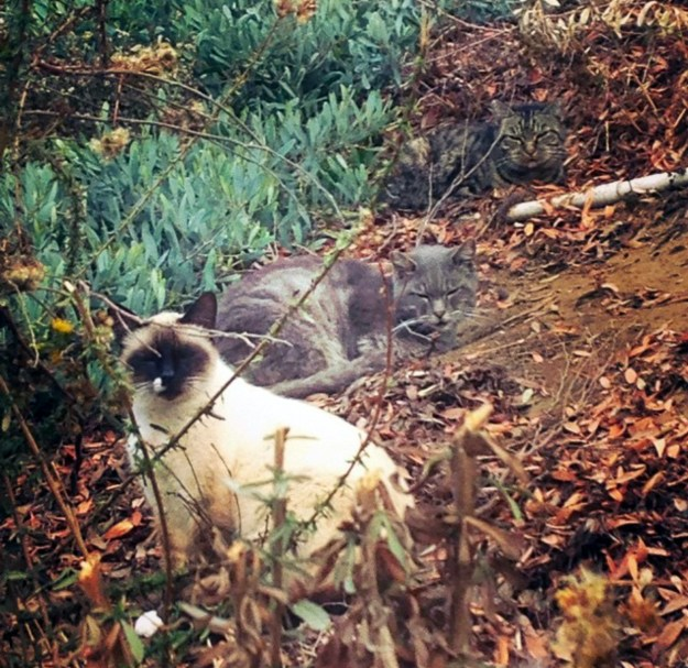 three-feral-cats-in-the-bushes