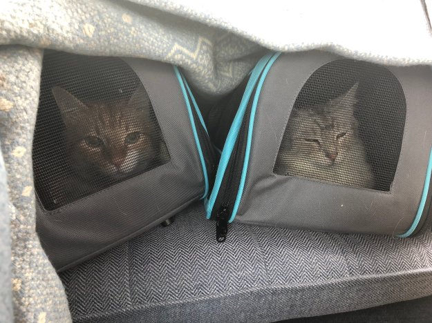 Carrier training in the car, drape a blanket over the carriers when they are feeling stressed while leaving enough room for adequate ventilation.