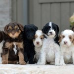 Doodle Creek English Goldendoodle Puppies For Sale