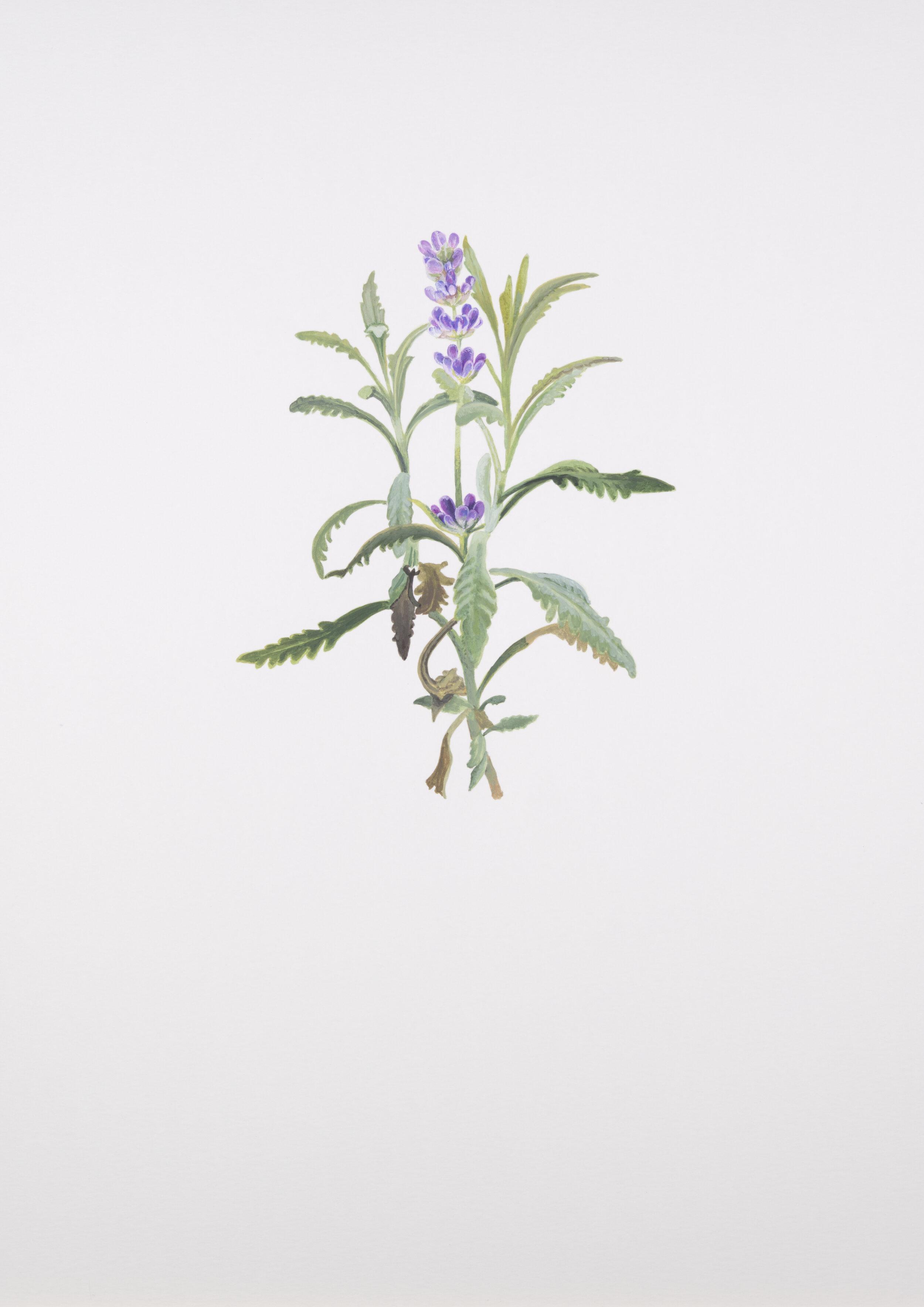 National Flower Of Portugal : national, flower, portugal, Works, Maryam
