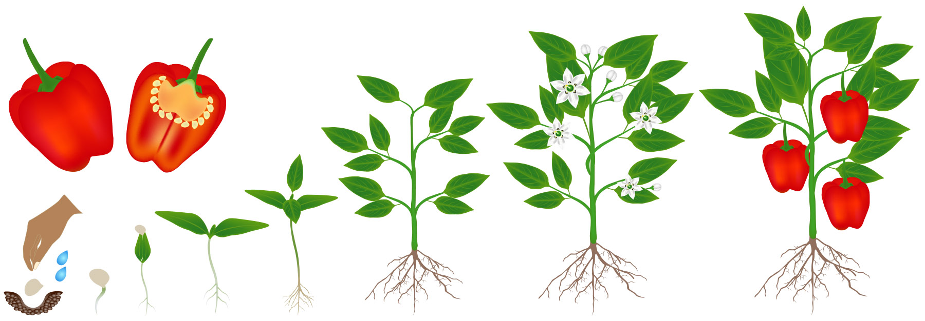 Life Cycle of a Plant — Kentucky Ready Set Grow [ 626 x 1800 Pixel ]