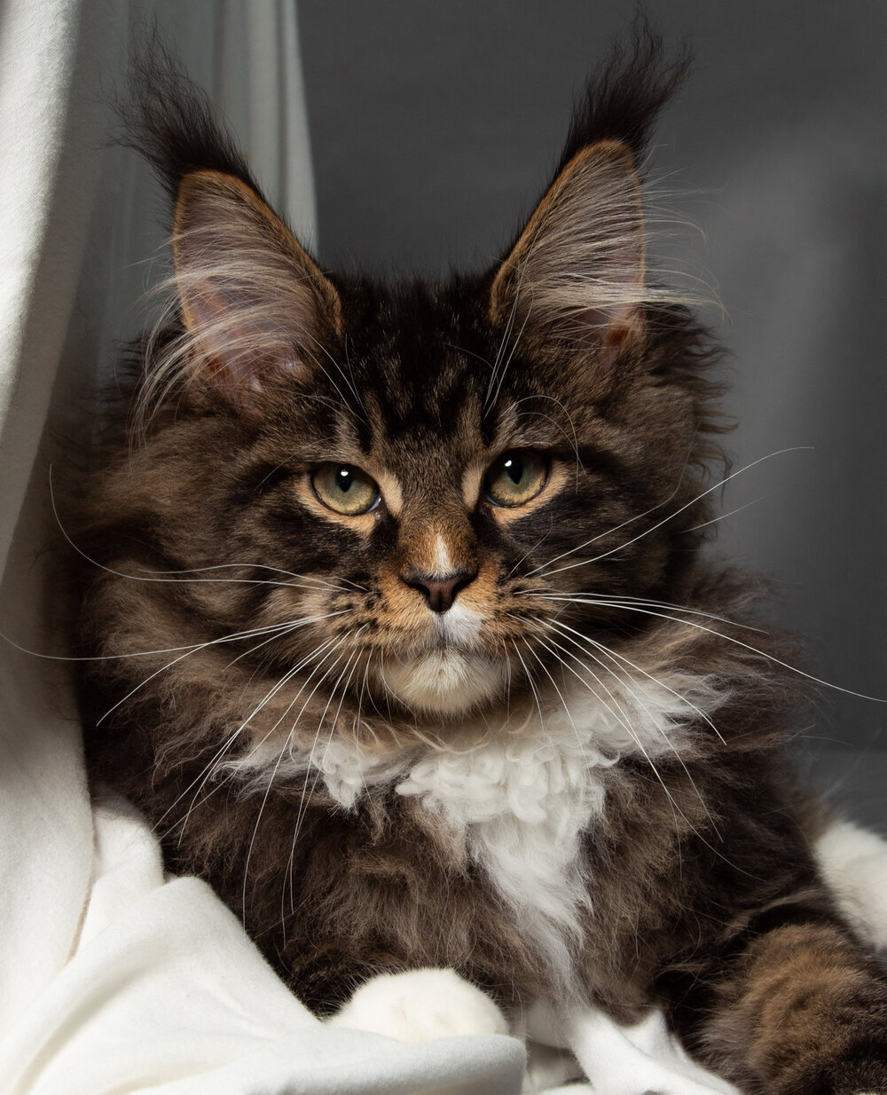 Kanu Coons - Maine Coon For Sale