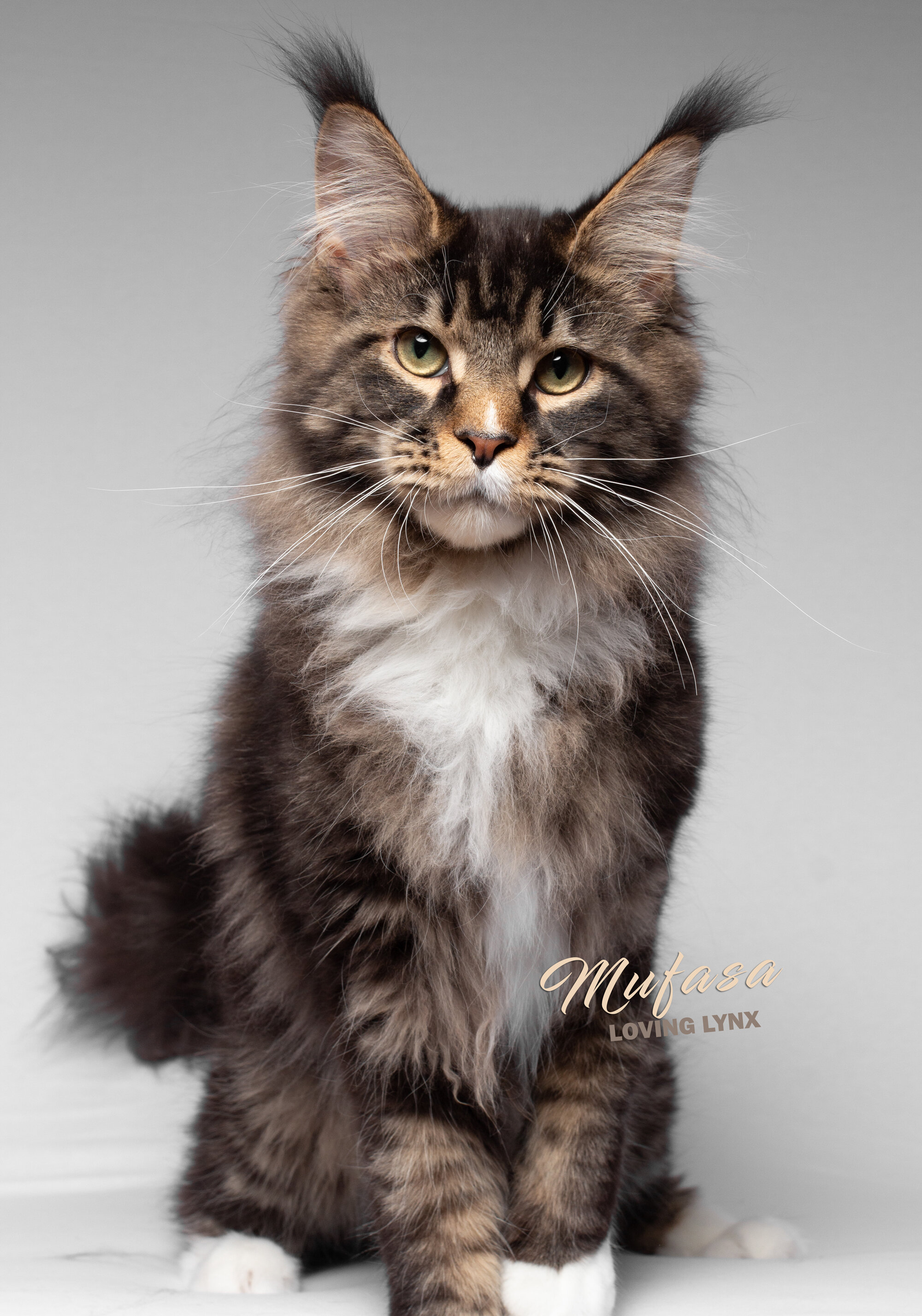 Maine Coon Cats For Sale In Iowa : maine, Maine, Breeders, LOVING