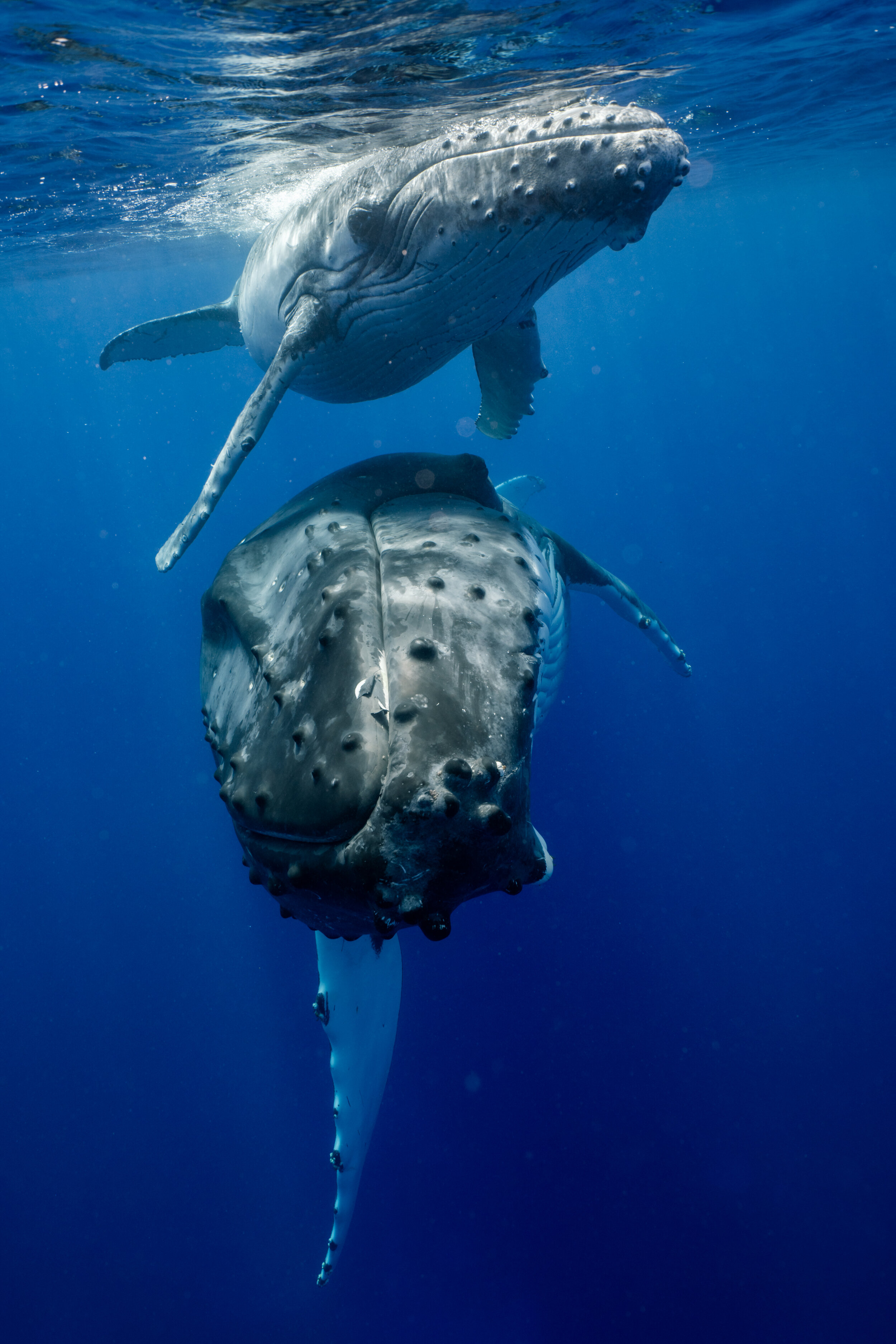 Grey Whale Penis : whale, penis, Tender, World, Humpback, Whale, Courtship, Inertia, Network