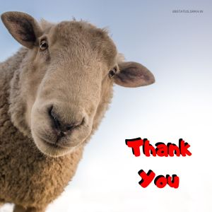 Thank You Funny Images Sheep full HD free download.