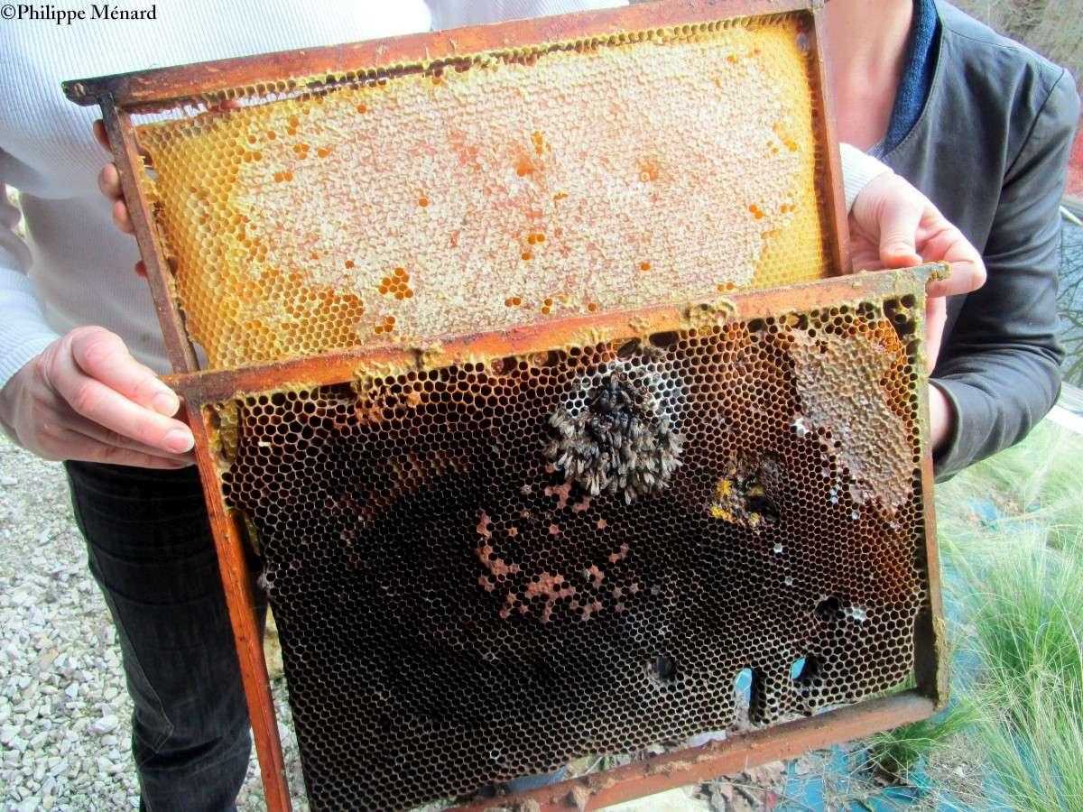 La mortalité a atteint 50 à 100 % dans certains ruchers.