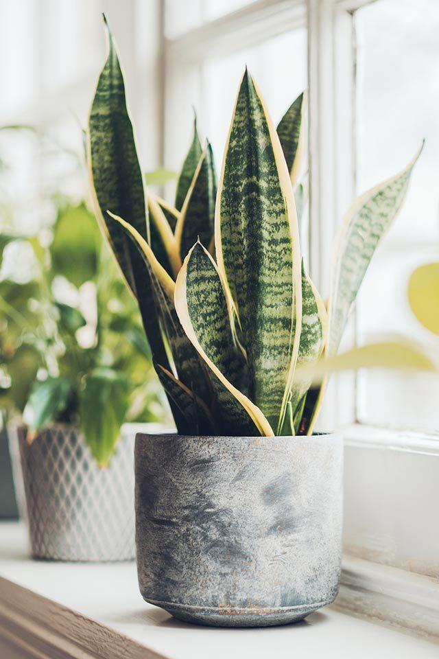 1 snake plant 1595236887