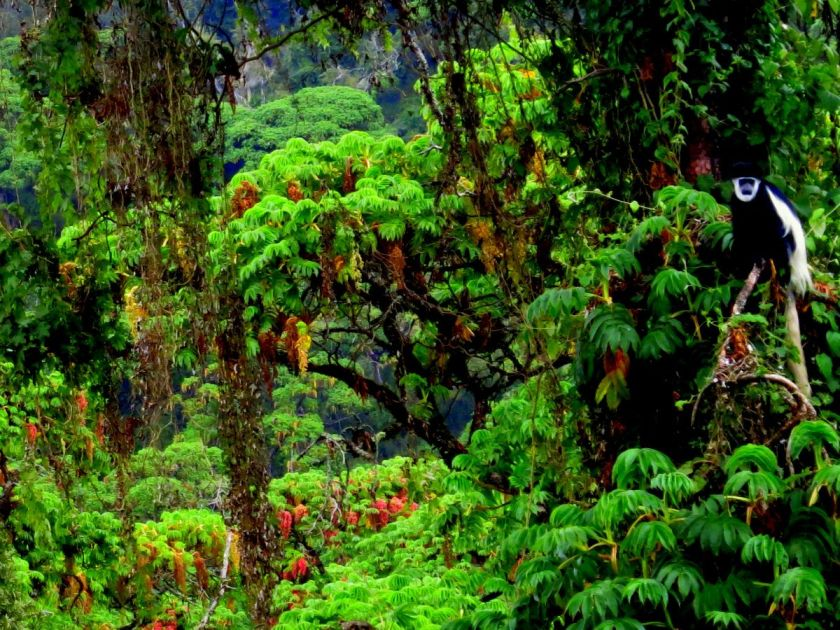 The flagship species of the east african montane forests ecoregion is the black. East African Montane Forests One Earth