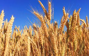 MIPAAF, al via lavori Commissione sperimentale nazionale su grano duro