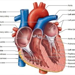 Heart Diagram Inside Crutchfield Wiring 19 Templates Sample Example Format Download Inner Part Of The