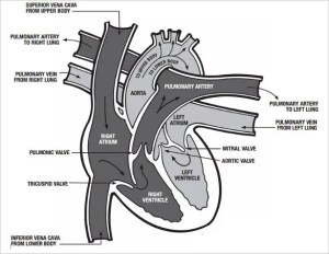 19 Heart Diagram Templates – Sample, Example, Format Download | Free & Premium Templates