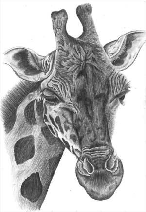 drawing drawings animal pencil giraffe templates animals easy cool sketches giraffes head vector