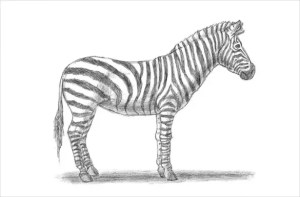 drawing zebra easy drawings draw animal template
