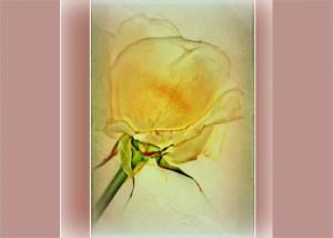 rose drawing yellow drawings template natural