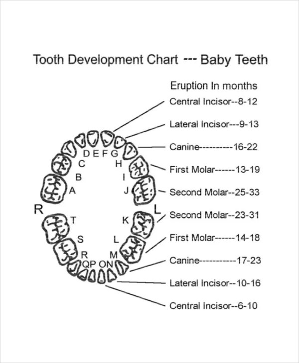 Baby Teeth Diagram | Periodic & Diagrams Science