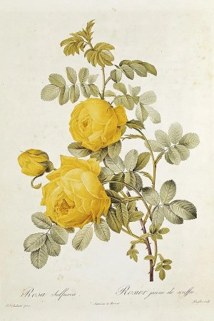 rose drawing yellow colorful roses drawings template apart including different photorealism schemes prides suits embed arts fine four