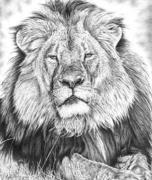 drawing lion drawings template paintingvalley saddle explore arts